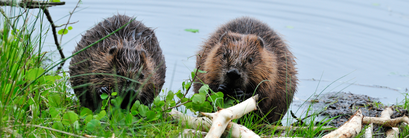 Two beavers eating by the water