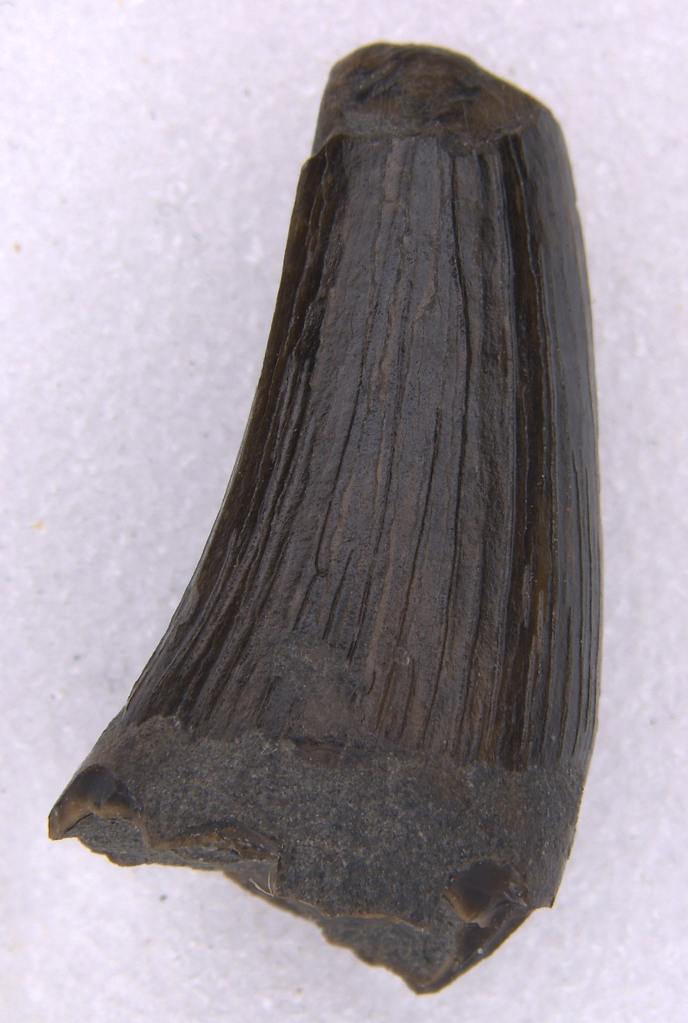 Rare plesiosaur tooth recently discovered by a young fossil collector near Staffin, Skye. This fossil has been donated to the Staffin Museum, Isle of Skye. © N. Clark, The Hunterian, University of Glasgow