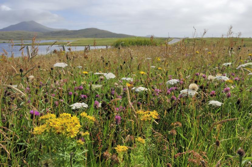 Machair growing in front of the SNH office at Loch Druidibeg, South Uist