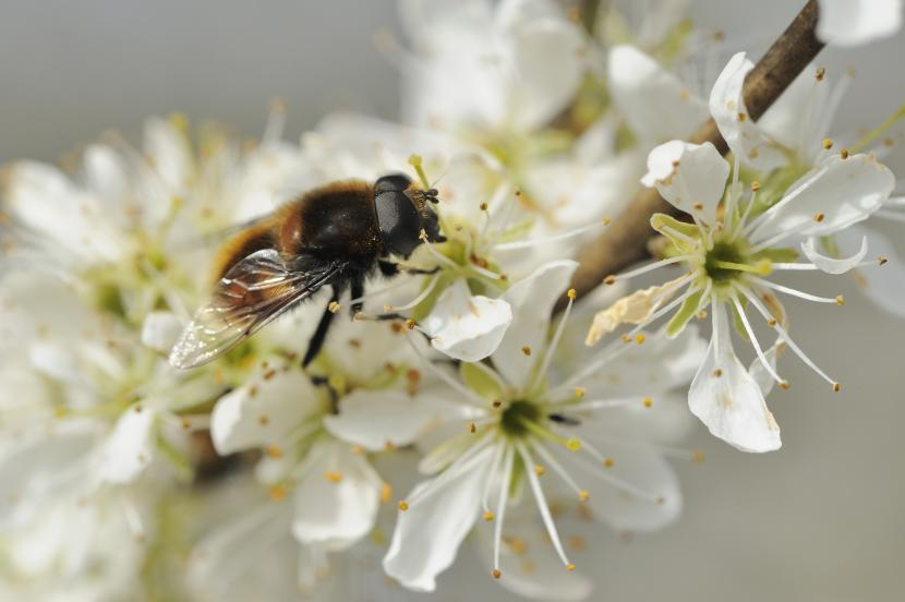 Hoverfly feeding on hawthorn blossom. ©Lorne Gill/SNH. For information on reproduction rights contact the Scottish Natural Heritage Image Library on Tel. 01738 444177 or www.nature.scot
