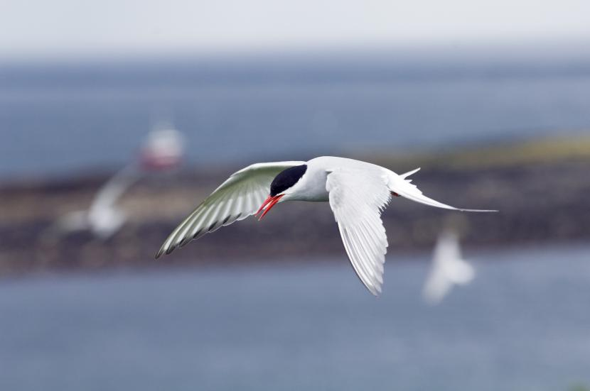 Arctic Tern in flight. ©Lorne Gill/SNH. For information on reproduction rights contact the Scottish Natural Heritage Image Library on Tel. 01738 444177 or www.nature.scot