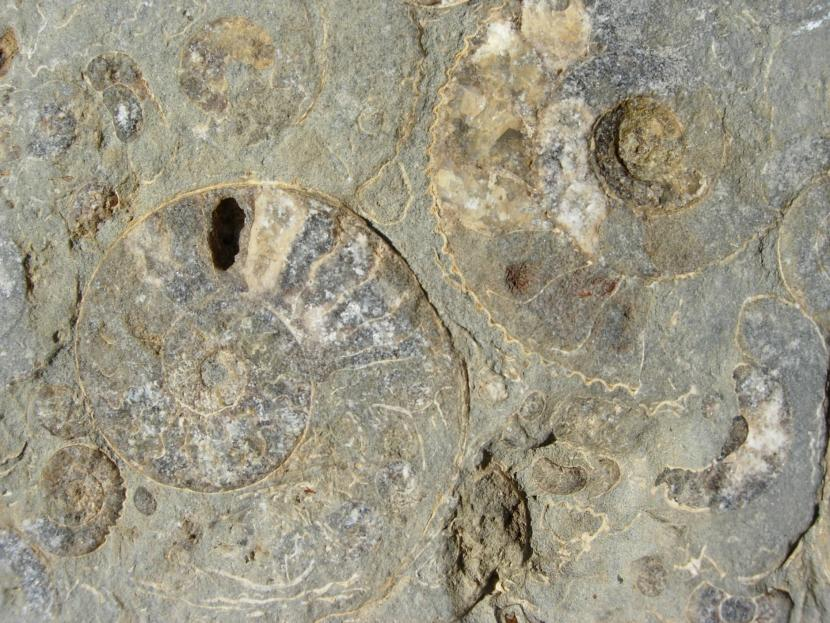 Ammonite fossils, in a beach cobble, from Northeast Skye.  Invertebrate fossils such as this are not affected by the Skye Nature Conservation Order.  However, in areas that are also Sites of Special Scientific Interest (SSSI) restrictions on collecting can also apply.  ©Colin MacFadyen/SNH.