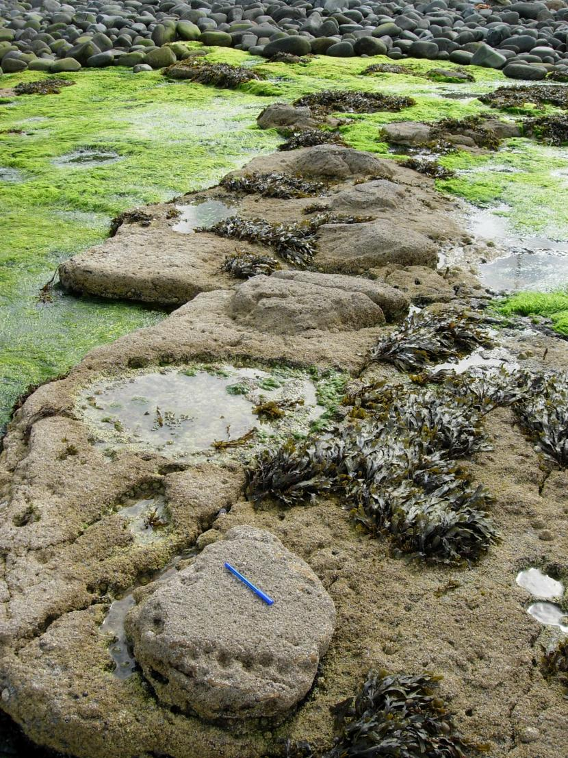 Dinosaur trackway at Duntulm, Skye protected by the Skye Nature Conservation Order.  ©Colin MacFadyen/SNH.