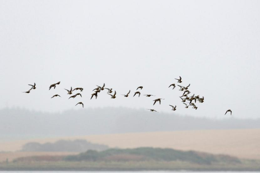 Flock of wading birds at Forvie NNR ©Lorne Gill/SNH. For information on reproduction rights contact the Scottish Natural Heritage Image Library on Tel. 01738 444177 or www.nature.scot