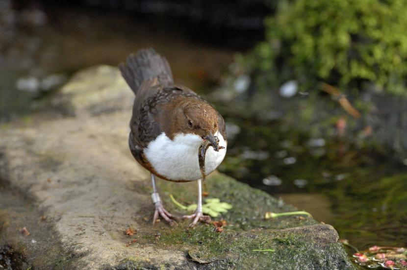 Dipper (Cinclus cinclus).©Lorne Gill/SNH. For further information contact Scottish Natural Heritage Image Library, Battleby. Tel 01738 444177 or www.nature.scot