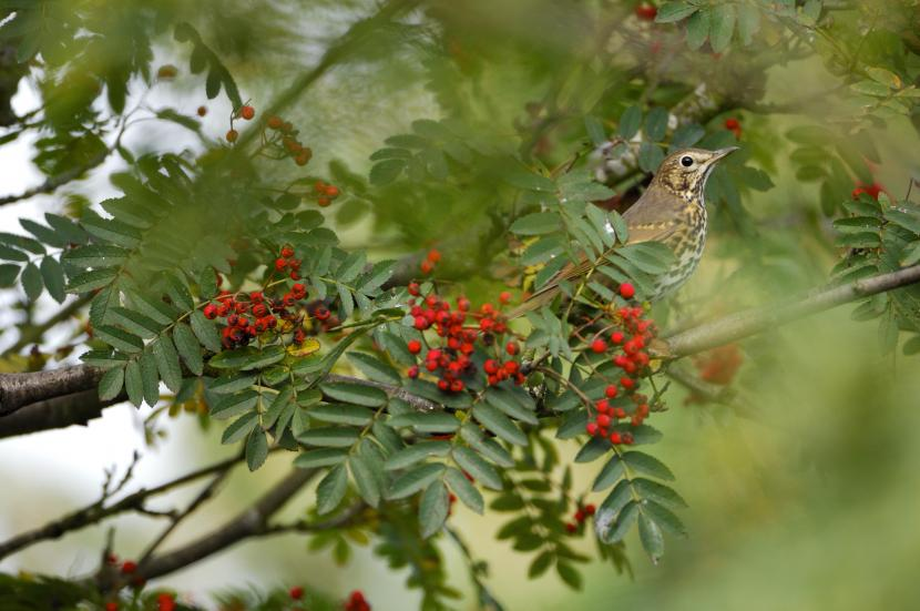 Song Thrush in a Rowan tree laden with red berries. ©Lorne Gill/SNH. For information on reproduction rights contact the Scottish Natural Heritage Image Library on Tel. 01738 444177 or www.nature.scot