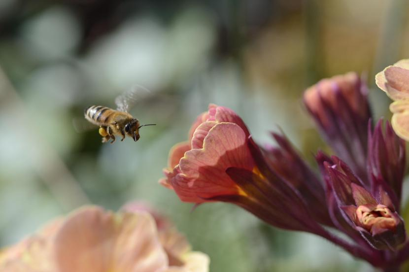 A honeybee collecting nectar from a polyanthus flower in a herbaceous border