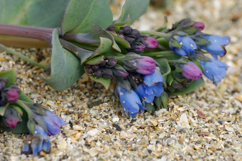Blue and purple oyster plant on gravely sand.