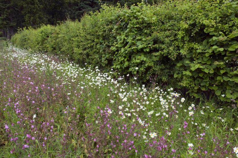 Hawthorn hedge, red campion and ox-eye daisies growing on a roadside verge at Ballathie Estate near Stanley.