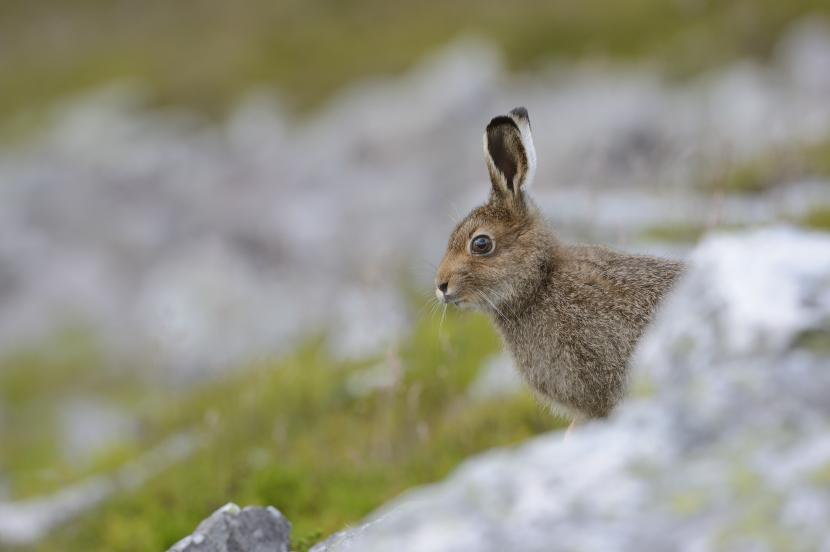 Mountain hare - Citizen Science Project