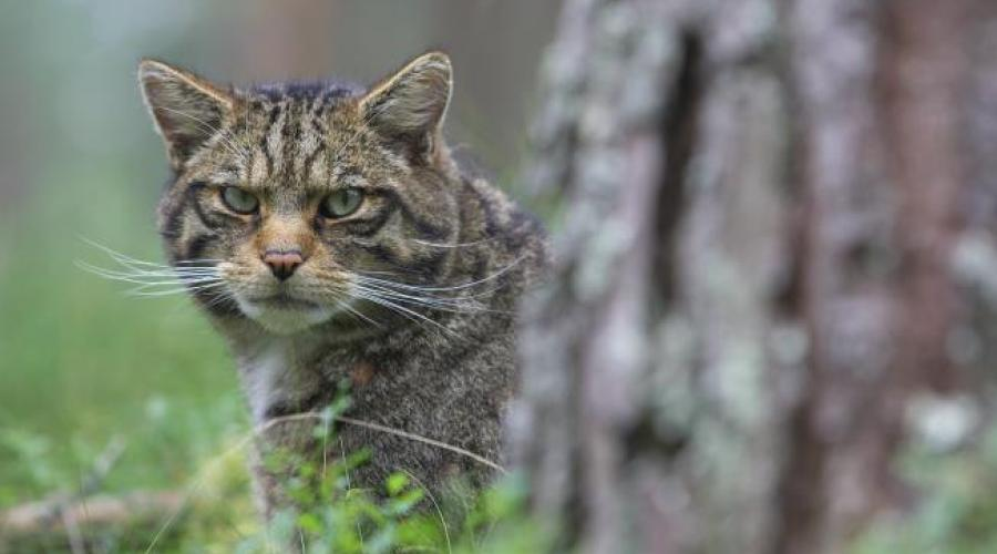 Wildcats | Scottish Natural Heritage