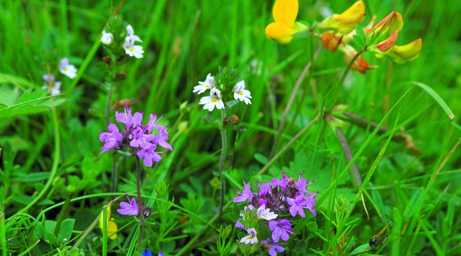 A meadow of thyme, eyebright, birds foot trefoil and milkwort. ©Lorne Gill/SNH. For information on reproduction rights contact the Scottish Natural Heritage Image Library on Tel. 01738 444177 or www.nature.scot