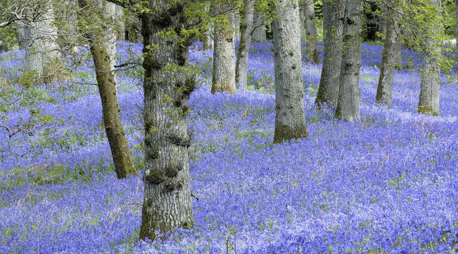 Bluebell oak woodland