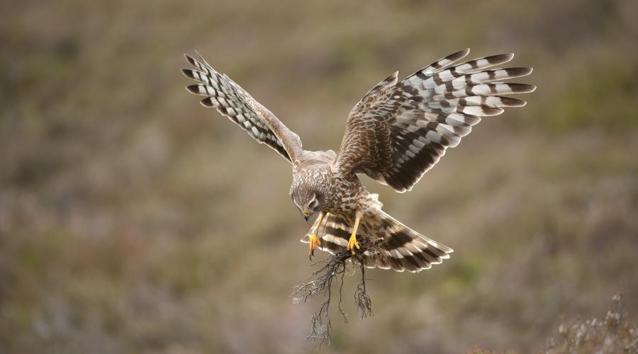Hen harrier Circus cyaneus, adult female, Scotland ©Mark Hamblin/2020VISION. For information on reproduction rights contact the Scottish Natural Heritage Image Library on Tel. 01738 444177 or www.nature.scot