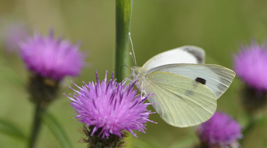 A large white (Pieris brassicae) butterfly feeding on the SNH wildflower meadow at Battleby, Perthshire ©Lorne Gill/SNH. For information on reproduction rights contact the Scottish Natural Heritage Image Library on Tel. 01738 444177 or www.nature.scot