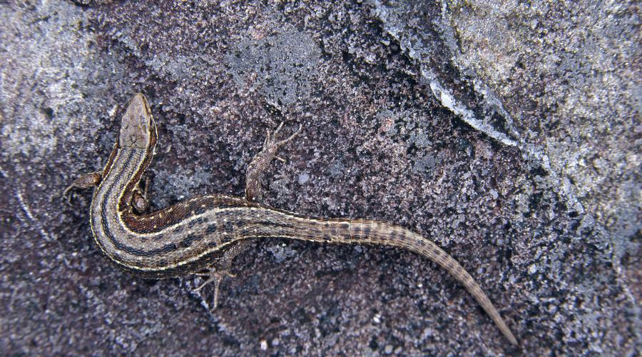 Common Lizard warming its self on a rock ©Lorne Gill/SNH. For information on reproduction rights contact the Scottish Natural Heritage Image Library on Tel. 01738 444177 or www.nature.scot