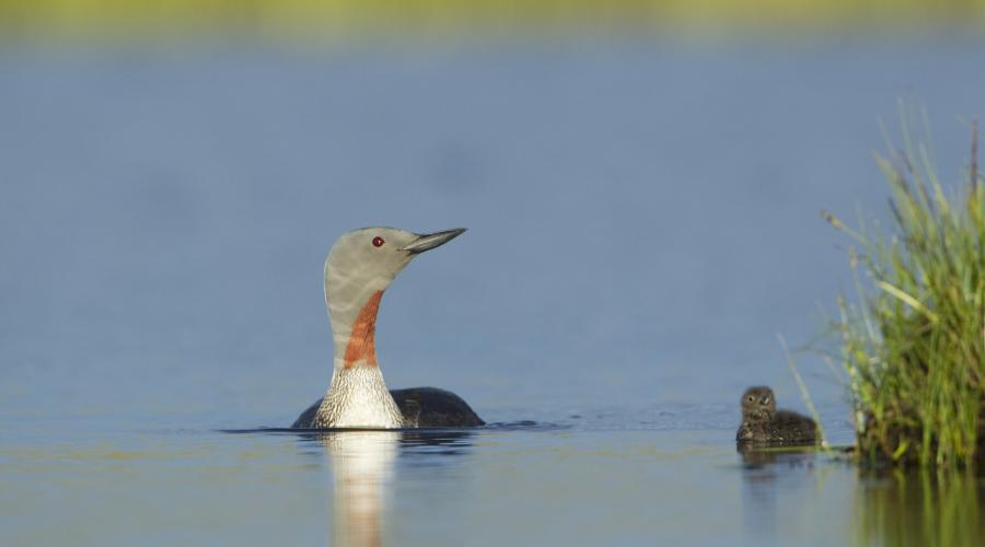 Red-throated diver Gavia stellata, adult and young chick on breeding loch, Flow Country, Scotland, June ©Mark Hamblin/2020VISION. For information on reproduction rights contact the Scottish Natural Heritage Image Library on Tel. 01738 444177 or www.nature.scot
