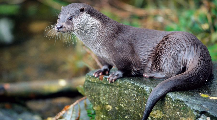 Captive European Otter (Lutra lutra) ©Lorne Gill. For information on reproduction rights contact the Scottish Natural Heritage Image Library on Tel. 01738 444177 or www.nature.scot
