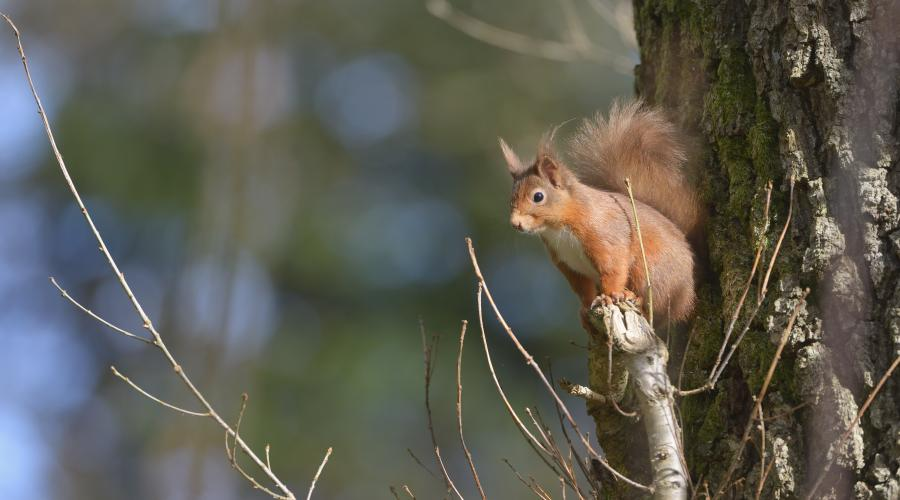 Red Squirrel (Sciurus vulgaris), Battleby ©Lorne Gill/SNH. For information on reproduction rights contact the Scottish Natural Heritage Image Library on Tel. 01738 444177 or www.snh.scot