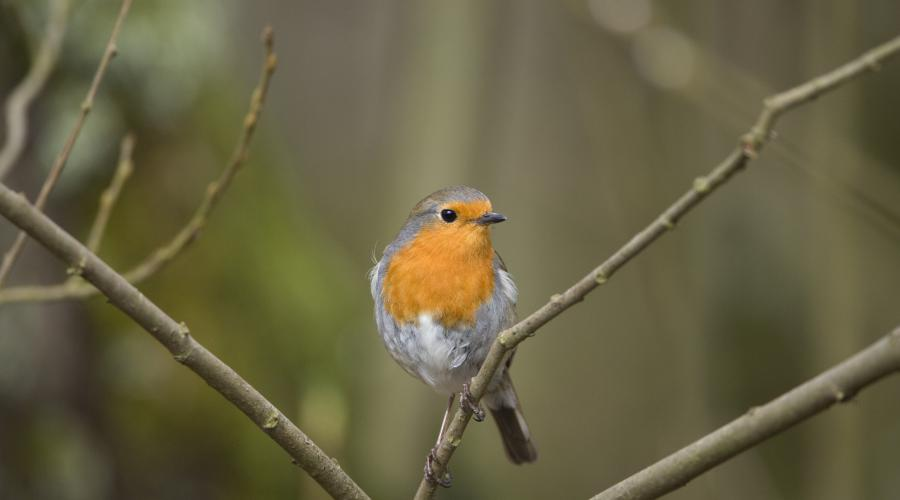 Robin ©Lorne Gill/SNH.  For information on reproduction rights contact the Scottish Natural Heritage Image Library on Tel. 01738 444177 or www.nature.scot