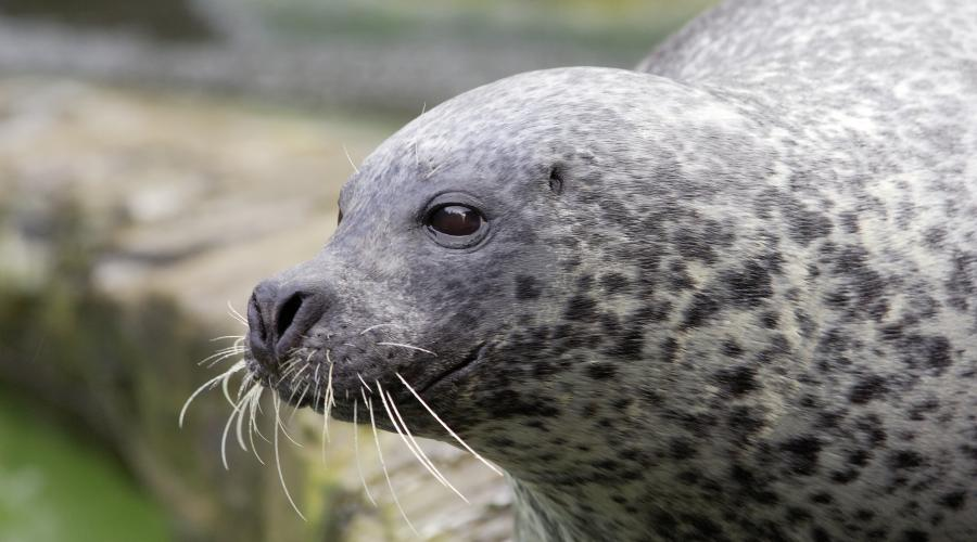 Common seal (Phoca vitulina). ©Lorne Gill/SNH. For information on reproduction rights contact the Scottish Natural Heritage Image Library on Tel. 01738 444177 or www.nature.scot