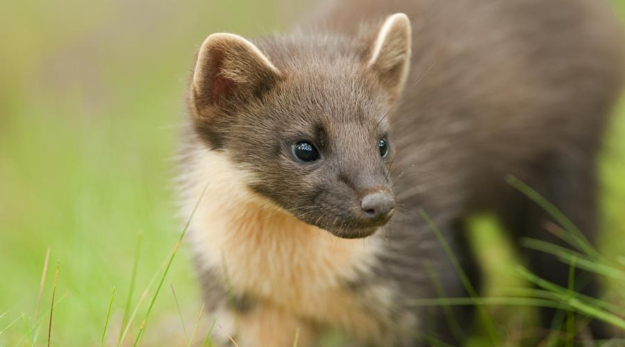 Pine marten (Martes martes), Black Isle, Scotland. 4-5 month old kit ©Terry Whittaker/2020VISION. For information on reproduction rights contact the Scottish Natural Heritage Image Library on Tel. 01738 444177 or www.nature.scot