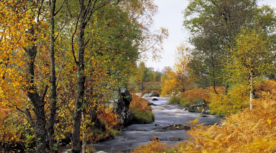 Riparian woodland in autumn colour by the River Gaur, Rannoch, Perthshire©Lorne Gill/SNH. For information on reproduction rights contact the Scottish Natural Heritage Image Library on Tel. 01738 444177 or www.nature.scot