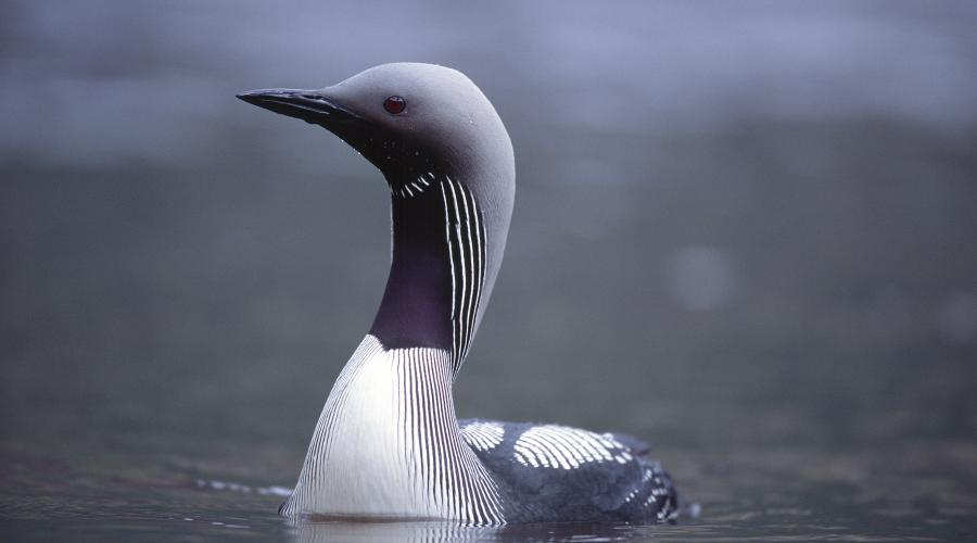 Black-throated Diver ©Laurie Campbell/SNH. For information on reproduction rights contact the Scottish Natural Heritage Image Library on Tel. 01738 444177 or www.nature.scot