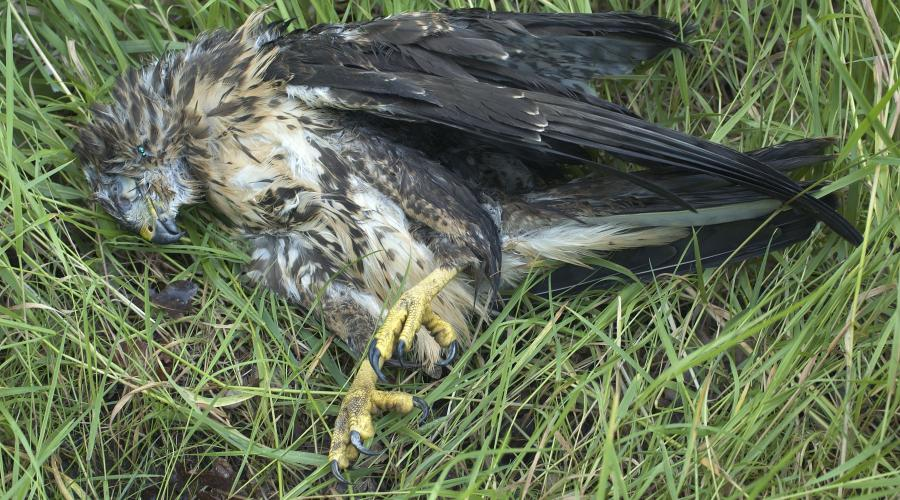 Dead buzzard ©Lorne Gill/SNH. For information on reproduction rights contact the Scottish Natural Heritage Image Library on Tel. 01738 444177 or www.nature.scot