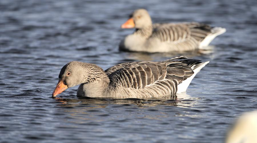 Greylag Geese (Anser anser) ©Lorne Gill/SNH. For information on reproduction rights contact the Scottish Natural Heritage Image Library on Tel. 01738 444177 or www.nature.scot