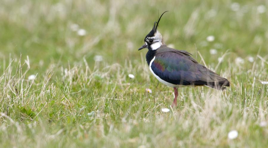 Lapwing  ©Lorne Gill/SNH. For information on reproduction rights contact the Scottish Natural Heritage Image Library on Tel. 01738 444177 or www.nature.scot