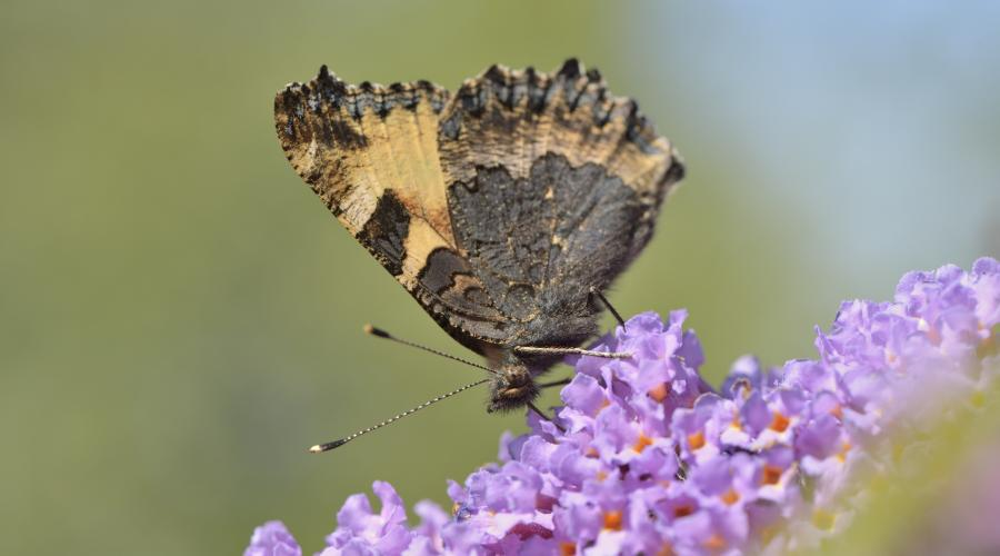 A small tortoiseshell butterfy (Aglais urticae) feeding on a Buddleia bush ©Lorne Gill/SNH. For information on reproduction rights contact the Scottish Natural Heritage Image Library on Tel. 01738 444177 or www.nature.scot