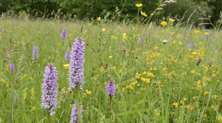 Orchids growing at Weem meadow SSSI near Aberfeldy. July 2016 ©Lorne Gill/SNH. For information on reproduction rights contact the Scottish Natural Heritage Image Library on Tel. 01738 444177 or www.nature.scot