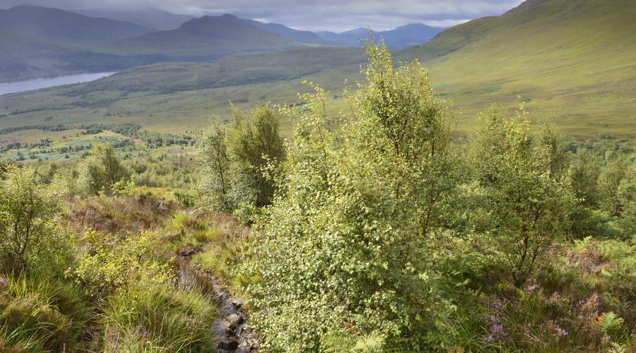 Native birch woodland natural regeneration, Choill a Choire, Creag Meagaidh National Nature Reserve ©Lorne Gill/SNH. For information on reproduction rights contact the Scottish Natural Heritage Image Library on Tel. 01738 444177 or www.nature.scot
