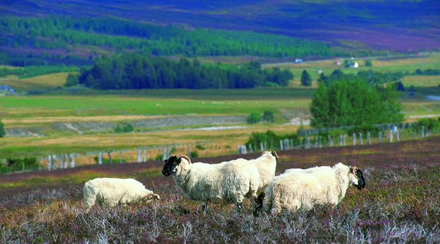Blackface sheep grazing on Heather moorland in Glen Garry, Perthshire ©Lorne Gill/SNH. For information on reproduction rights contact the Scottish Natural Heritage Image Library on Tel. 01738 444177 or www.nature.scot