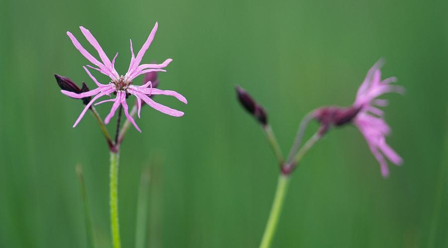 Ragged Robin ©Lorne Gill/SNH. For information on reproduction rights contact the Scottish Natural Heritage Image Library on Tel. 01738 444177 or www.nature.scot