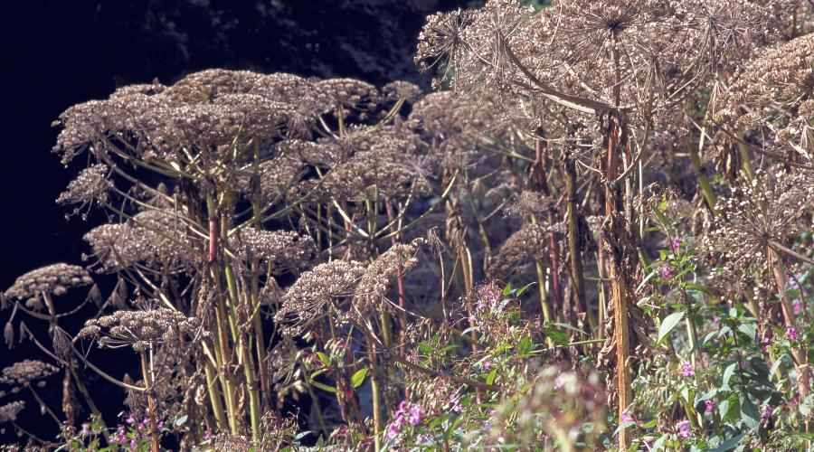 Giant Hogweed ©Lorne Gill/SNH. For information on reproduction rights contact the Scottish Natural Heritage Image Library on Tel. 01738 444177 or www.nature.scot