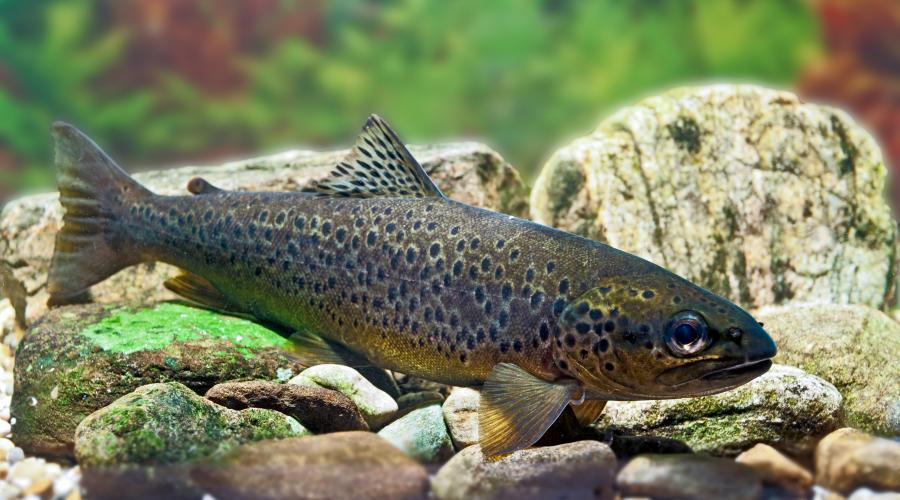 Brown trout ©David Whitaker, Highland WIldlife Photography