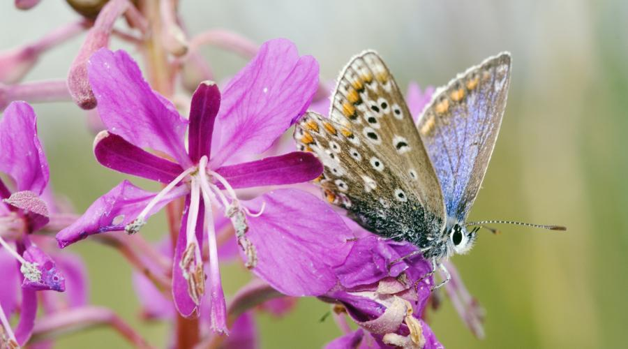 A Common Blue butterfly (Polyommatus icarus) resting ©Lorne Gill/SNH. For information on reproduction rights contact the Scottish Natural Heritage Image Library on Tel. 01738 444177 or www.nature.scot