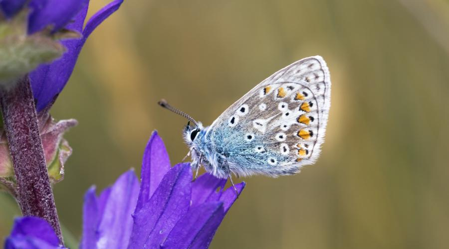 A Common Blue butterfly (Polyommatus icarus) resting on a Clustered Bellflower at St Cyrus NNR ©Lorne Gill/SNH. For information on reproduction rights contact the Scottish Natural Heritage Image Library on Tel. 01738 444177 or www.nature.scot