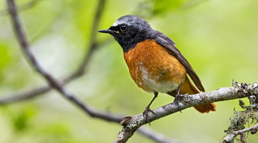 Common redstart ©David Whitaker, Highland WIldlife Photography