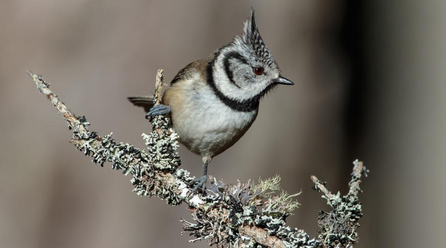 Crested tit ©David Whitaker, Highland WIldlife Photography