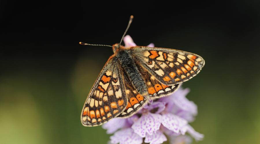 Marsh Fritillary (Euphydryas aurinia) butterfly feeding on a common-spotted orchid, Taynish NNR, Argyll ©Lorne Gill/SNH. For information on reproduction rights contact the Scottish Natural Heritage Image Library on Tel. 01738 444177 or www.nature.scot
