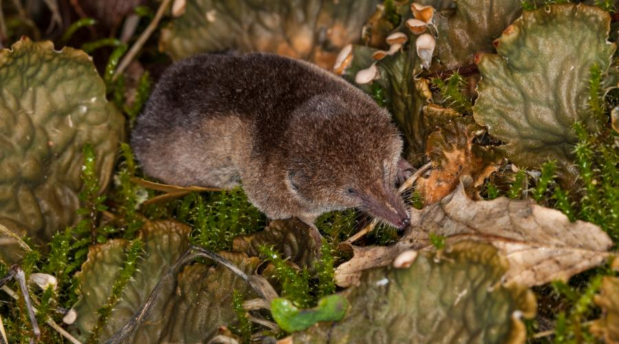 Pygmy shrew ©David Whitaker, Highland WIldlife PhotographyFor information on reproduction rights contact the Scottish Natural Heritage Image Library on Tel. 01738 444177 or www.nature.scot