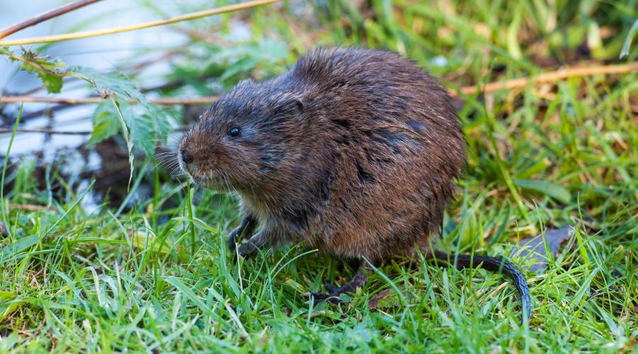 Water vole ©David Whitaker, Highland WIldlife Photography.  For information on reproduction rights contact the Scottish Natural Heritage Image Library on Tel. 01738 444177 or www.nature.scot