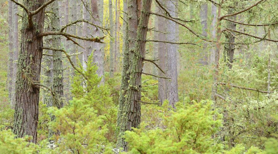 Scots pine and juniper scrub, Abernethy National Nature Reserve, Cairngorms National Park. ©Lorne Gill/SNH. For information on reproduction rights contact the Scottish Natural Heritage Image Library on Tel. 01738 444177 or www.nature.scot