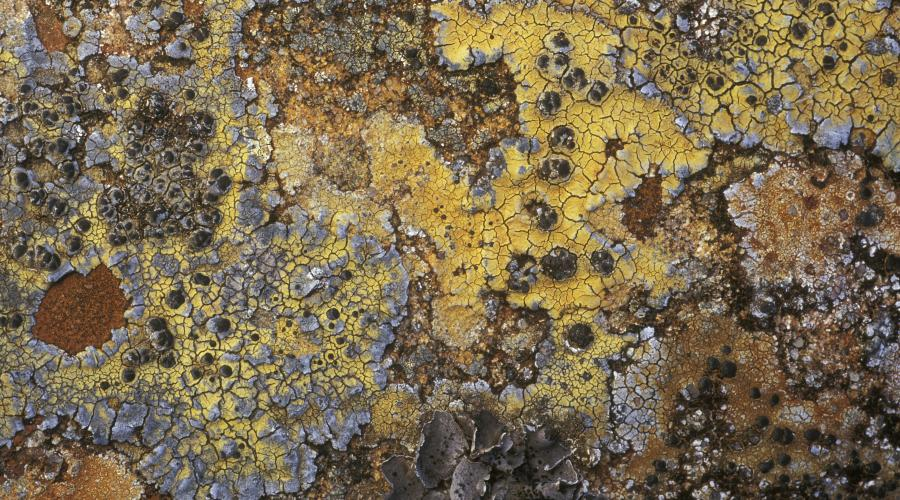 Lichens at side of track in Glen Grudie. (file ref. K35-33). 2001/02. ©Niall Benvie/SNH.  For information on reproduction rights contact the Scottish Natural Heritage Image Library on Tel. 01738 444177 or www.nature.scot