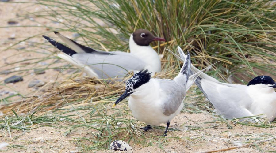 Sandwich Terns (Sterna sandvicensis) & Black headed Gulls (Larus ridibundus) nesting at Sands of Forvie NNR. ©Lorne Gill/SNH. For information on reproduction rights contact the Scottish Natural Heritage Image Libary on tel. 01738 444177 or www.nature.scot