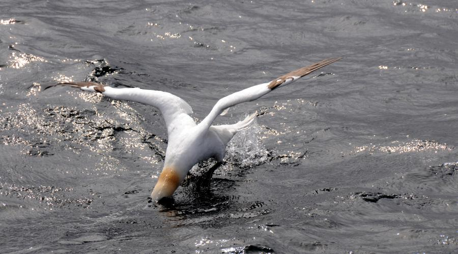 A gannet landing on the water. Mousa to Boddam MPA. Lisa Kamphausen © SNH. All rights reserved. Please contact CMEU for details - snhmarinephotos@nature.scot