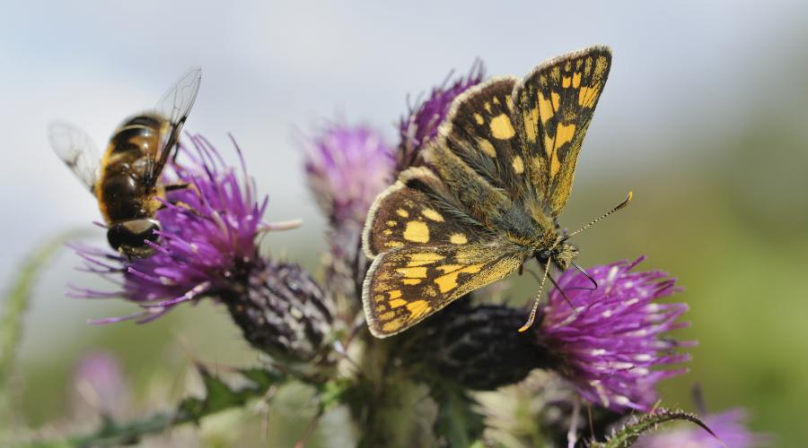 Chequered skipper (Carterocephalus palaemon) butterfly, Glasdrum National Nature Reserve. ©Lorne Gill/SNH/2020VISION. For information on reproduction rights contact the Scottish Natural Heritage Image Library on Tel. 01738 444177 or www.nature.scot